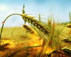 Пшеница для волос